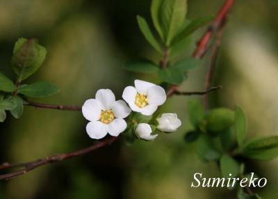 flower2010.4.12.jpg